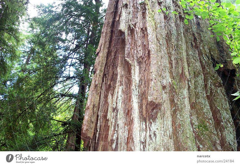 baum [1] Baum Blatt Wald USA Amerika Mammut Südwest