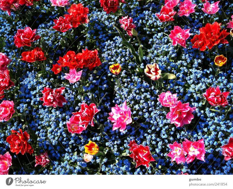 Blumen im Park Natur blau Pflanze rot Farbe Garten rosa Umwelt verrückt Fröhlichkeit Kitsch Tulpe Schönes Wetter