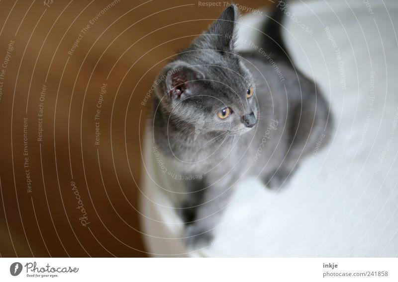 stolz wie ein Großer Katze Tier Gefühle grau klein Stimmung braun Tierjunges sitzen außergewöhnlich Häusliches Leben einzigartig weich niedlich beobachten hören