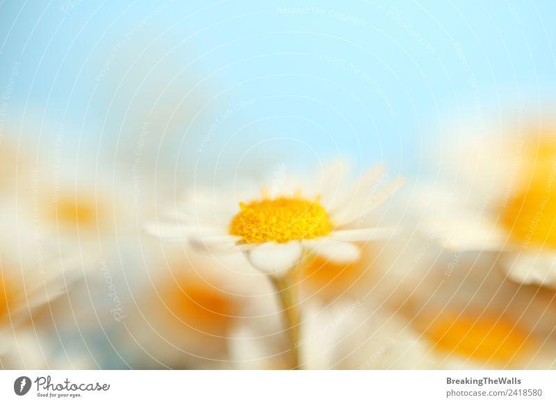 Nahaufnahme Kamillenblüten über blauem Himmel Natur Wolkenloser Himmel Frühling Sommer Pflanze Blüte Wildpflanze Garten Wiese Feld schön wild weich mehrfarbig