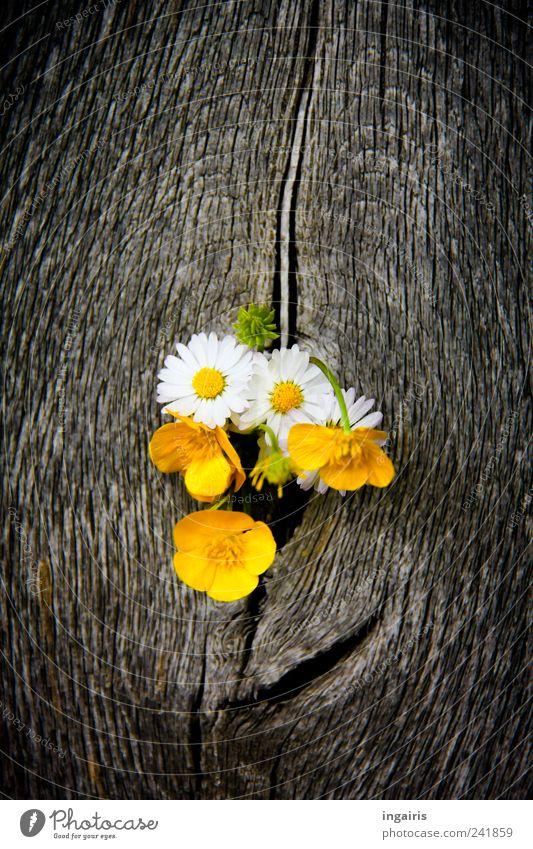 Wiesenblumen Natur Pflanze weiß Blume schwarz gelb Leben Frühling Holz Glück grau braun Zufriedenheit leuchten Dekoration & Verzierung Tür