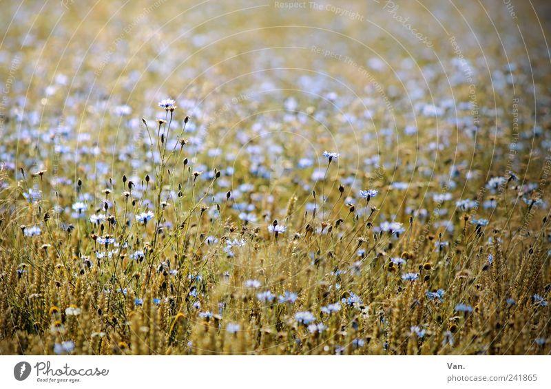 Blümchenbild Getreide Natur Pflanze Sommer Blume Blüte Nutzpflanze Kornblume Feld schön blau gelb ruhig reif Weizen Farbfoto Außenaufnahme Tag Licht Sonnenlicht