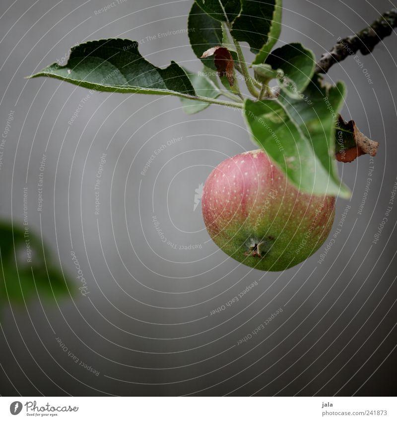 apfel Frucht Apfel Bioprodukte Vegetarische Ernährung Natur Pflanze Baum Blatt Nutzpflanze Apfelbaum lecker Zweige u. Äste Farbfoto Außenaufnahme Menschenleer