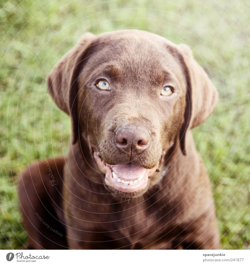 Paul Tier Hund Freundschaft braun Tiergesicht Fell Neugier entdecken niedlich Haustier Schnauze Sympathie hocken Welpe Labrador Hundeblick
