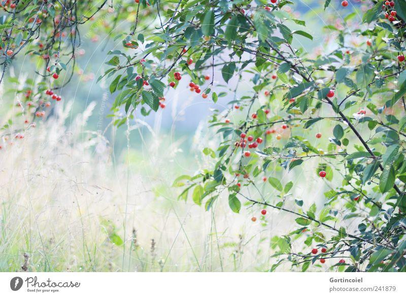 Cerisier Natur Pflanze Sommer Landschaft Umwelt Wiese Gras natürlich Kirsche Kirschbaum Naturliebe Frucht