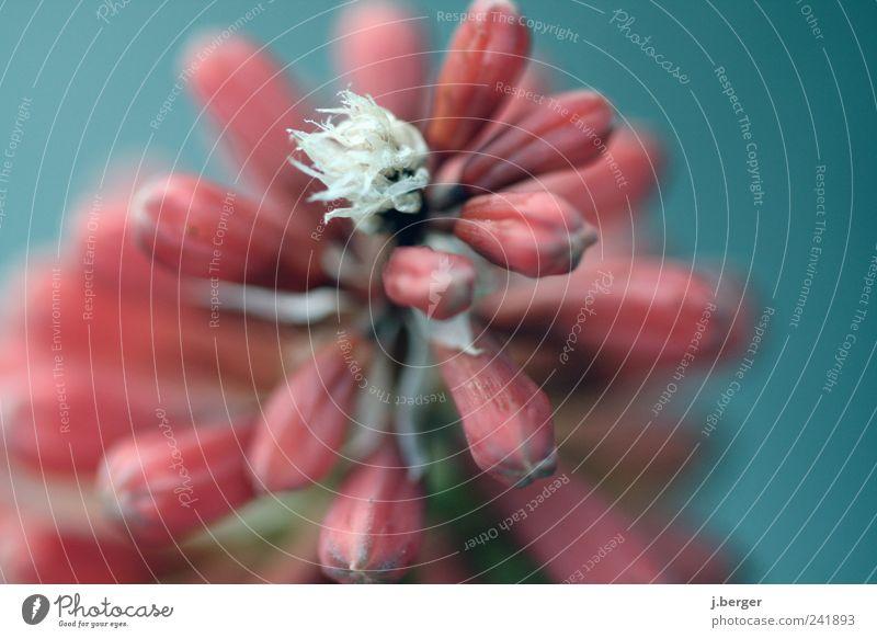 im blumenbeet Natur Pflanze Sommer Blume Blüte exotisch Blühend Duft ästhetisch außergewöhnlich blau rot weiß Farbfoto Außenaufnahme Nahaufnahme Detailaufnahme