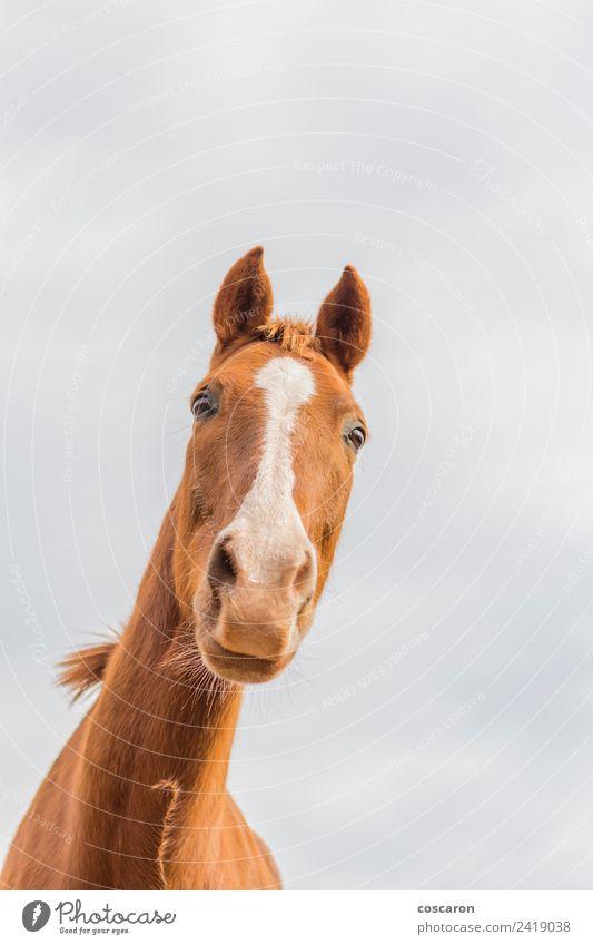 Neugieriges Pferd gegen den Himmel. Ansicht von unten Glück schön Gesicht Mund Natur Tier Haustier lachen niedlich verrückt wild blau braun weiß Hintergrund