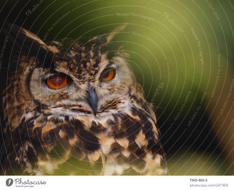 Blickfang Tier Wildtier Tiergesicht Flügel Eulenvögel Uhu 1 fliegen Fressen Jagd braun gelb grün geduldig ruhig elegant Geschwindigkeit Auge Feder Schnabel