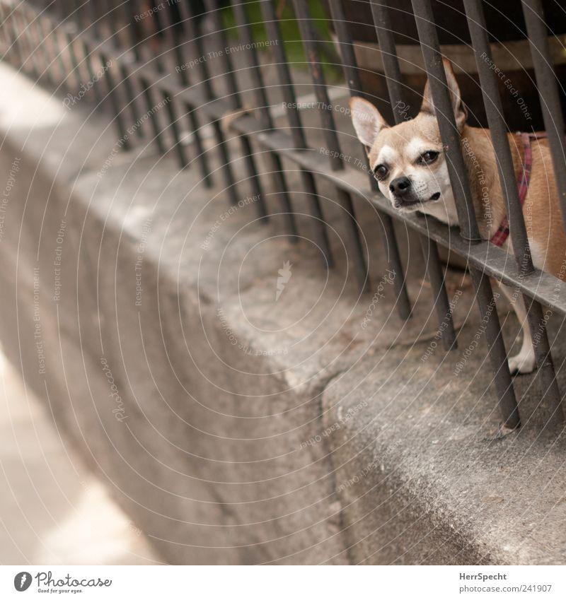 Hinter Gittern Mauer Zaun Gitterstaebe Tier Haustier Hund 1 beobachten braun grau Traurigkeit gefangen Schwarzweißfoto Gedeckte Farben Außenaufnahme
