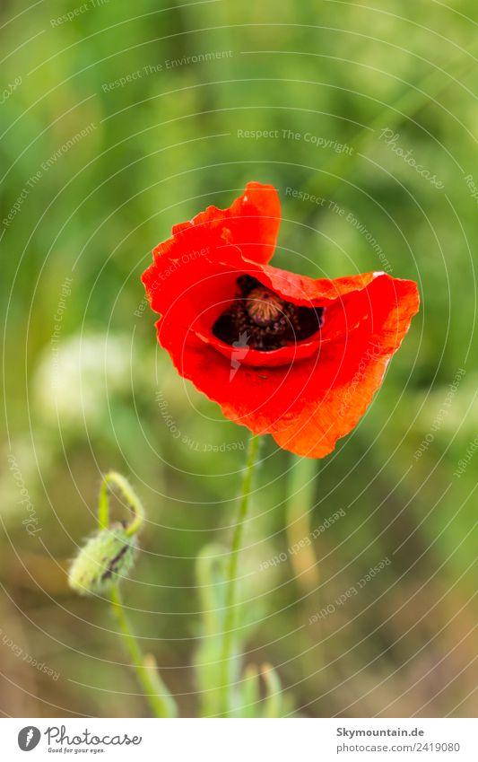 Applaus, bitte Klatschmohn! Umwelt Natur Landschaft Pflanze Tier Klima Klimawandel Wetter Schönes Wetter Blüte Wildpflanze Garten Park Wiese Feld