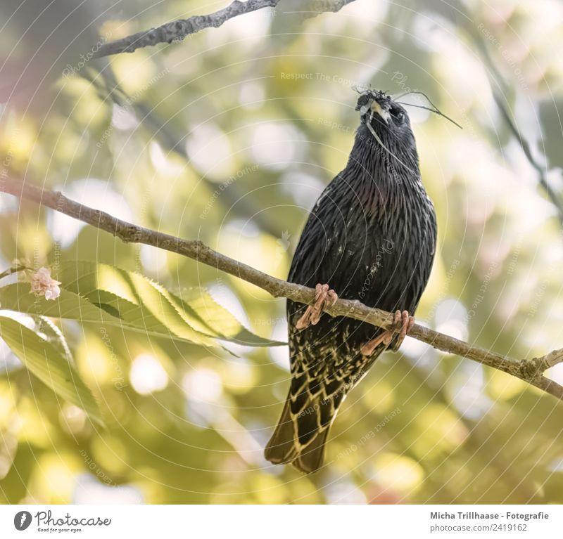 Star mit Insekten im Schnabel Natur grün Sonne weiß Baum Tier Blatt Wald schwarz gelb Vogel orange Wildtier Fliege Schönes Wetter Flügel