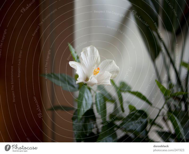 white flower. Pflanze Blume Grünpflanze Topfpflanze Nostalgie Stillleben weiß Farbfoto Gedeckte Farben Innenaufnahme Nahaufnahme Textfreiraum links