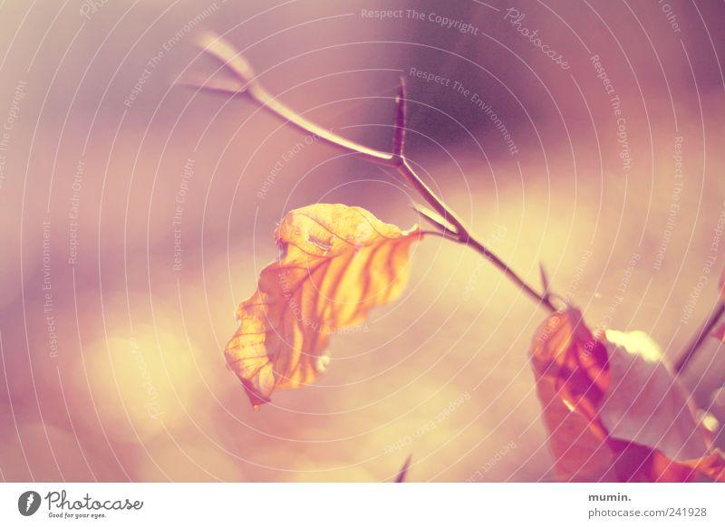 Herbstblatt. Baum Pflanze Blatt gelb Herbst Wärme braun gold leuchten vertrocknet welk