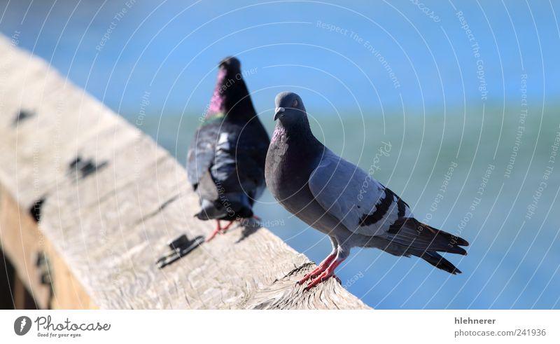Taube schön Freiheit Natur Tier Vogel Flügel stehen warten klein blau grau Frieden Feder Schnabel nach oben Leitwerke Nahaufnahme Aufenthalt Tierwelt zuschauend