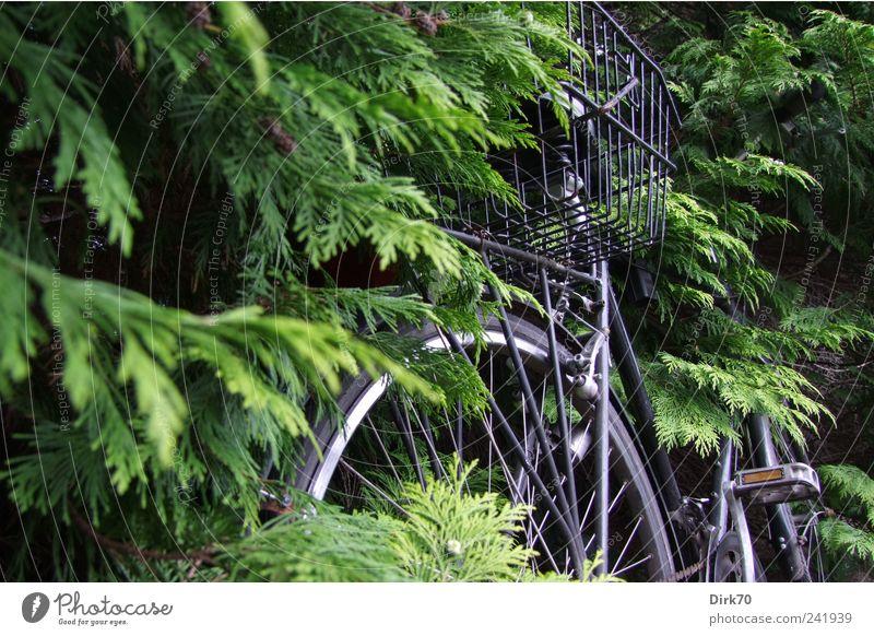 Fahrrad zugewachsen grün Baum Pflanze Blatt schwarz grau Wachstum Wandel & Veränderung Vergänglichkeit Ast Rad Zweig silber Korb Personenverkehr