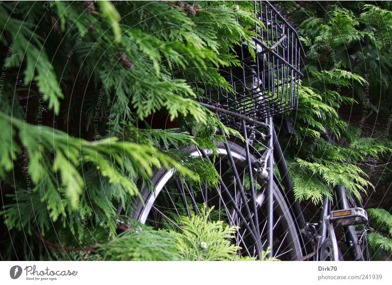 Fahrrad zugewachsen Pflanze Baum Blatt Zweig Zweige u. Äste Ast Nadelbaum Hecke Personenverkehr Wegrand Rad Korb Fahrradkorb Pedal Speichen Wachstum grau grün