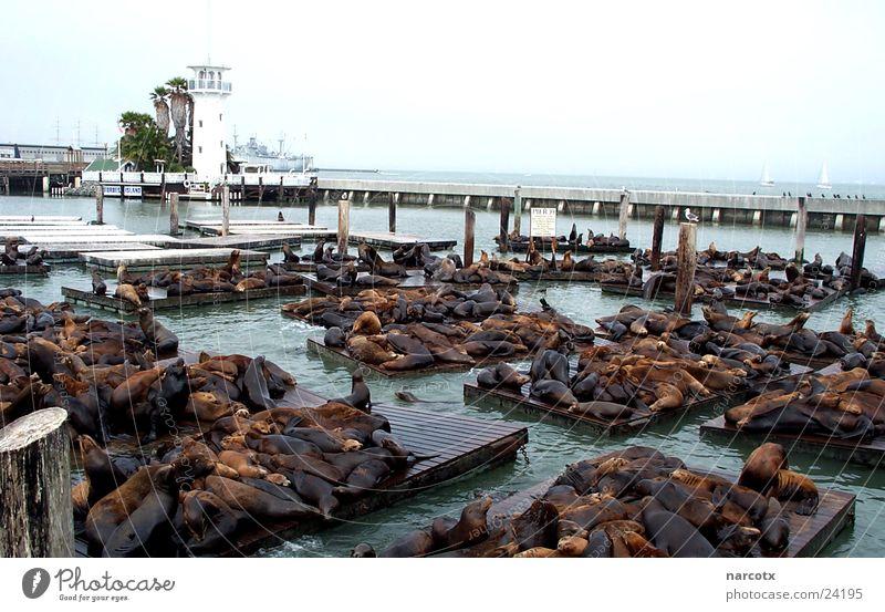 pier 39 Meer ruhig Hafen Anlegestelle Bekanntheit Robben faulenzen Tier Attraktion sehr viele Ausflugsziel San Francisco Seelöwe