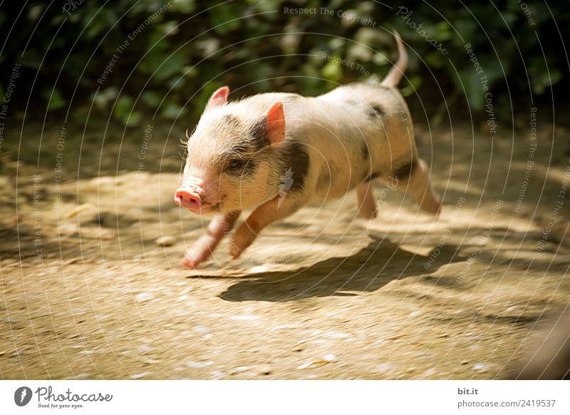 Junges Minischwein springt lebenslustig in der Natur. Tier Freude Tierjunges Glück Garten Park Fröhlichkeit Lebensfreude Haustier Zoo Frühlingsgefühle