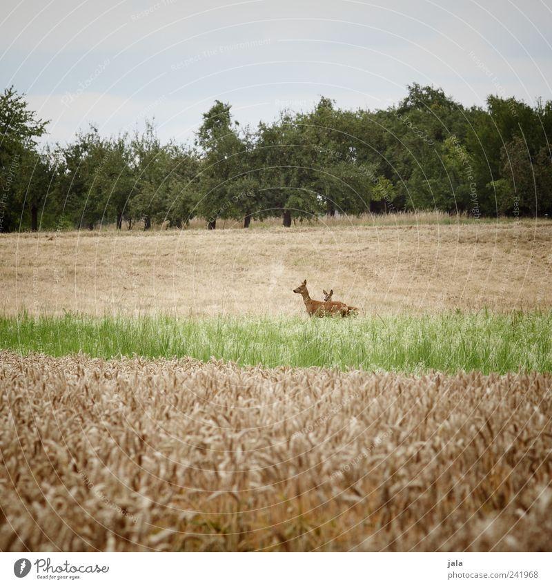 rehlein Natur Landschaft Himmel Pflanze Baum Gras Grünpflanze Nutzpflanze Tier Wildtier Reh Rehkitz 2 Tierfamilie natürlich blau gelb grün Farbfoto