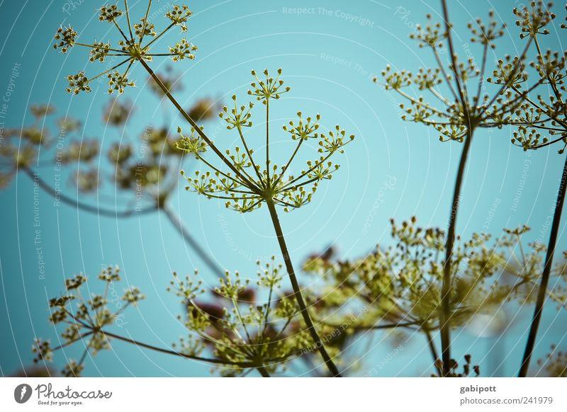 holde dolde, flotte lotte, wilde hilde oder bärenklau Natur Himmel blau Pflanze Sommer gelb Blüte Garten Park Landschaft Feld Fröhlichkeit Sträucher Punkt