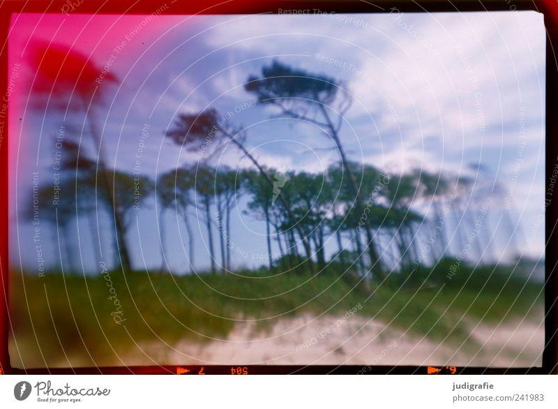 Weststrand Umwelt Natur Landschaft Pflanze Himmel Wolken Küste Ostsee Darß außergewöhnlich natürlich wild Stimmung Windflüchter analog Farbfoto Außenaufnahme