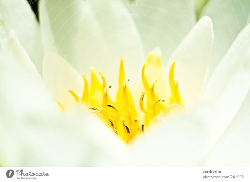 Nymphaea alba Design exotisch Erholung Sommer Garten Natur Pflanze Blatt Blüte Wildpflanze Park Seeufer Flussufer Strand Bucht Wachstum Schrebergarten wallroth