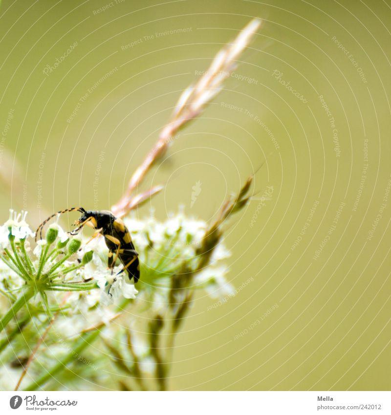 Karl Umwelt Natur Pflanze Tier Blume Gras Blüte Wildpflanze Wiese Käfer 1 krabbeln natürlich grün Halm Rispenblüte Gefleckter Schnürbock Farbfoto Außenaufnahme