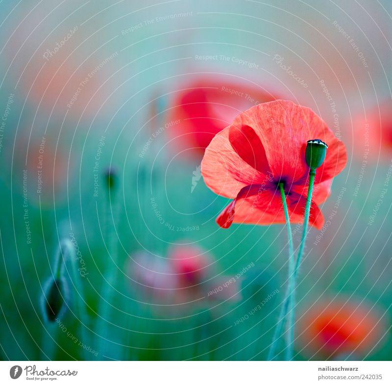 Mohntraum Umwelt Natur Pflanze Blume Blüte Mohnblüte Mohnfeld Wiese Feld Blühend ästhetisch frisch grün rot Farbfoto mehrfarbig Außenaufnahme Nahaufnahme