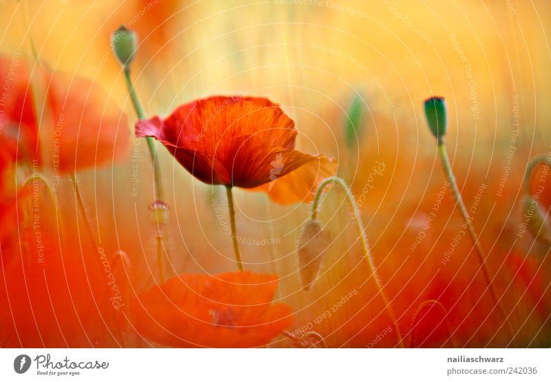 Mohntraum Umwelt Natur Pflanze Frühling Sommer Blüte Mohnblüte Mohnfeld Wiese Feld Blühend ästhetisch Farbfoto mehrfarbig Nahaufnahme Menschenleer Tag Licht
