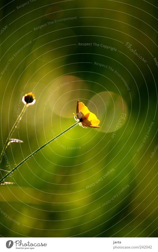 guten abend Umwelt Natur Pflanze Schönes Wetter Garten Wiese schön Sumpf-Dotterblumen Blume Nahaufnahme Menschenleer Textfreiraum oben Textfreiraum unten Abend