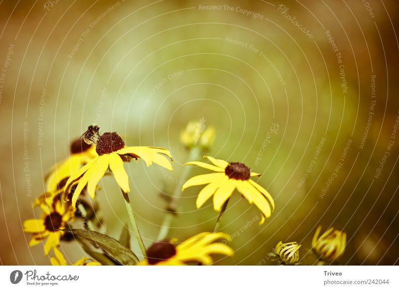 Biene auf Blume Pflanze Tier gelb Frühling braun gold elegant fliegen Insekt Blühend Duft Mobilität Sammlung Tatkraft