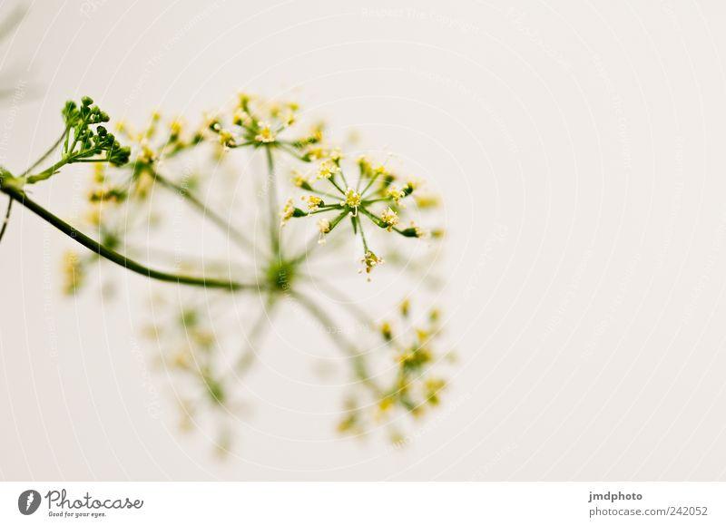 Petersilie - Blüte elegant Glück Sinnesorgane Umwelt Natur Pflanze Sträucher Grünpflanze Nutzpflanze Garten Blühend ästhetisch Duft Fröhlichkeit frisch lecker
