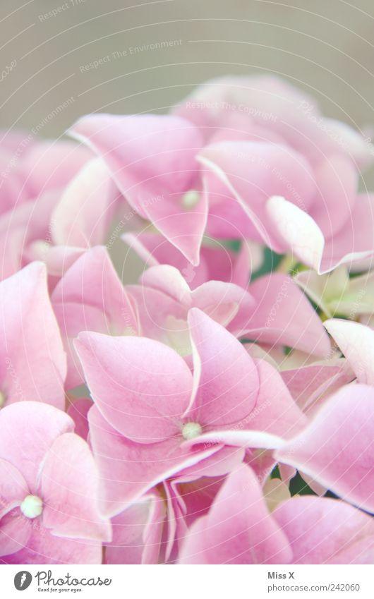 Rosa Pflanze Frühling Blume Blüte Blühend Duft rosa Hortensie Hortensienblüte zart Farbfoto Nahaufnahme Makroaufnahme Muster Strukturen & Formen Menschenleer