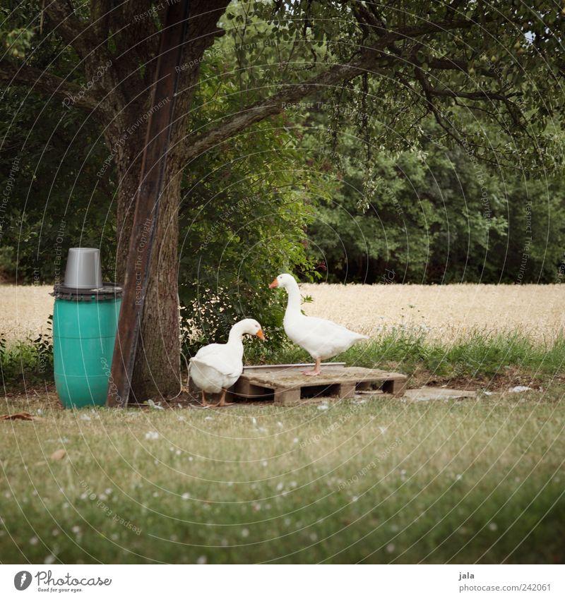 gänse Natur weiß Baum grün Pflanze Sommer Tier Gras Landschaft Tierpaar frei Sträucher natürlich Gans Grünpflanze Nutztier