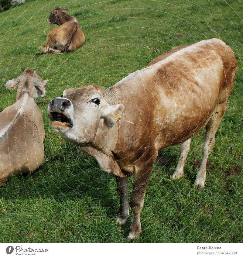 Rinderwahn - die Natur schlägt zurück weiß grün Sommer Tier Gefühle braun stehen Tiergruppe außergewöhnlich Kuh schreien Fleisch Fressen anstrengen Ärger