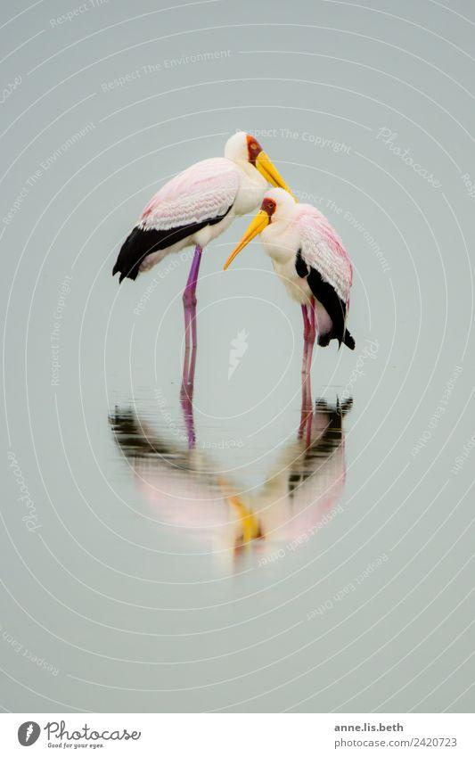 Afrikanischer Nimmersatt Natur Tier Vogel elegant Reinheit
