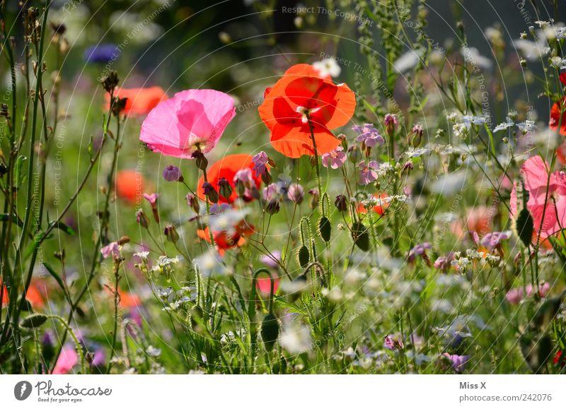 Wiese Natur Pflanze Frühling Sommer Schönes Wetter Blume Gras Blatt Blüte Garten Blühend Duft Wachstum Kitsch rosa Mohn Mohnblüte Blumenwiese Sommerblumen