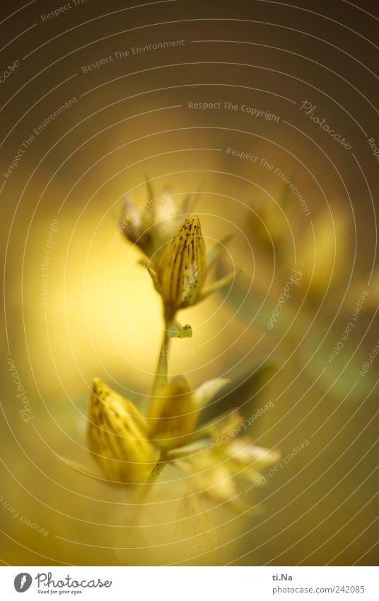 Jo Hannis Kräuter & Gewürze Umwelt Natur Pflanze Sommer Schönes Wetter Blatt Blüte Wildpflanze Johanniskraut Garten Wiese Feld Blühend Duft Wachstum hell schön