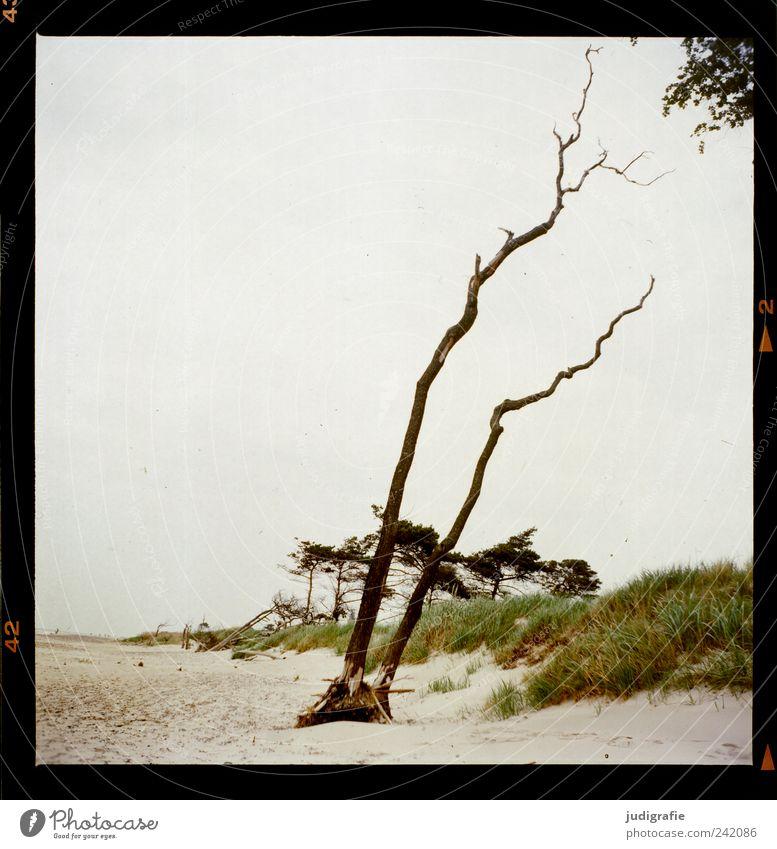 Weststrand Natur Baum Pflanze Strand Umwelt Landschaft Küste Stimmung natürlich wild Wachstum Wandel & Veränderung Vergänglichkeit analog Ostsee Darß
