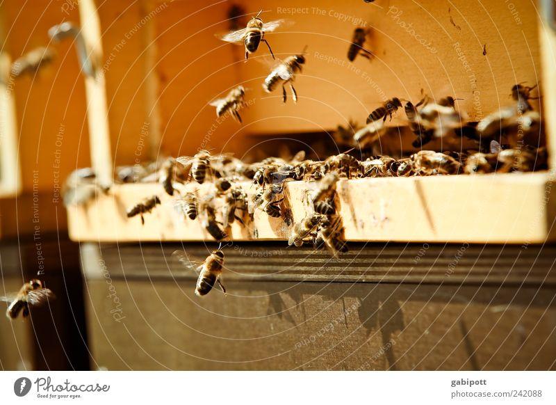Honigduft Sommer Tier gelb Leben Arbeit & Erwerbstätigkeit Bewegung braun fliegen gold bedrohlich natürlich Idylle Biene Duft Schönes Wetter anstrengen