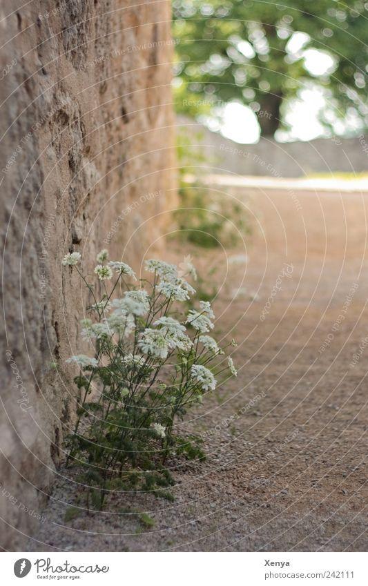 Am Rand Natur Blume grün Pflanze Sommer ruhig Erholung Wand grau Zufriedenheit braun Hoffnung Spaziergang Blühend Spazierweg Wegrand