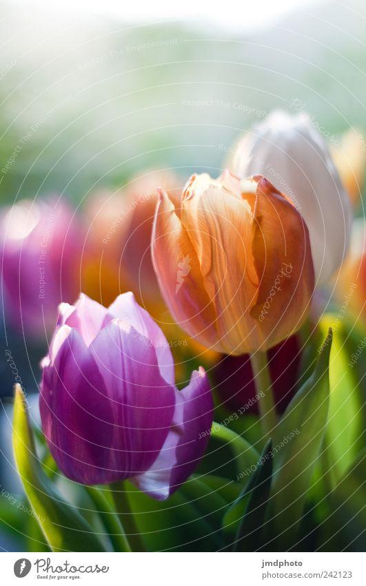 Tulpen Natur Pflanze Freude Farbe Wiese Stil Blüte Garten Glück Park Umwelt frisch Fröhlichkeit ästhetisch Lebensfreude Blühend