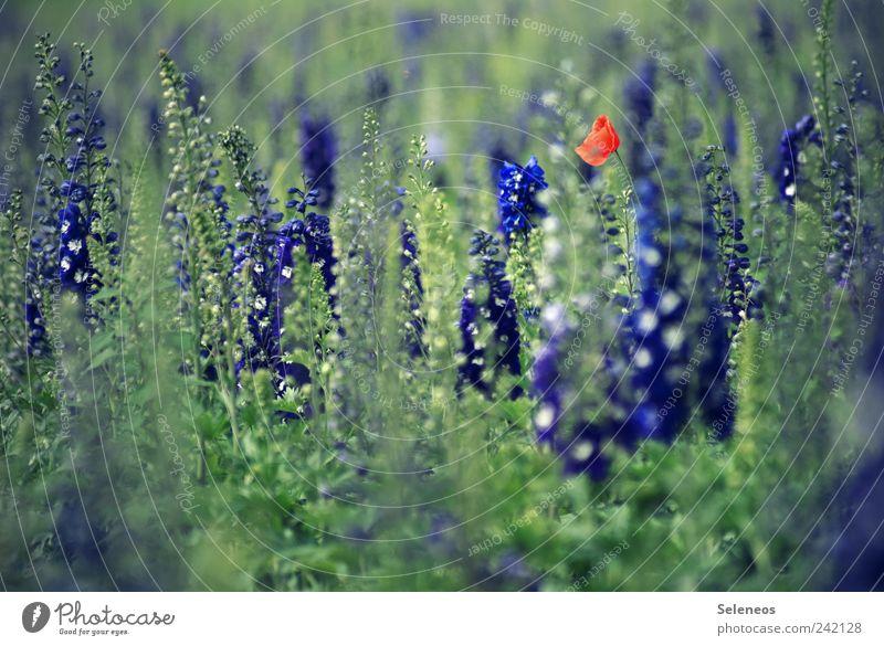 Mohn Ferien & Urlaub & Reisen Ausflug Freiheit Umwelt Natur Pflanze Frühling Sommer Schönes Wetter Blume Blatt Blüte Garten Wiese Feld Blühend Farbfoto