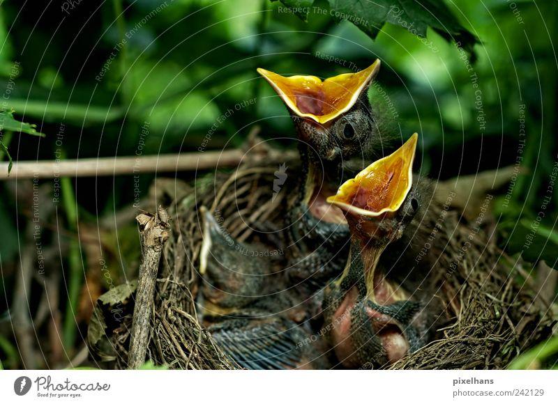 HUNGERRR . Natur grün Baum Pflanze Blatt Tier schwarz gelb klein braun Tierjunges Vogel warten Wildtier Hoffnung Tiergruppe