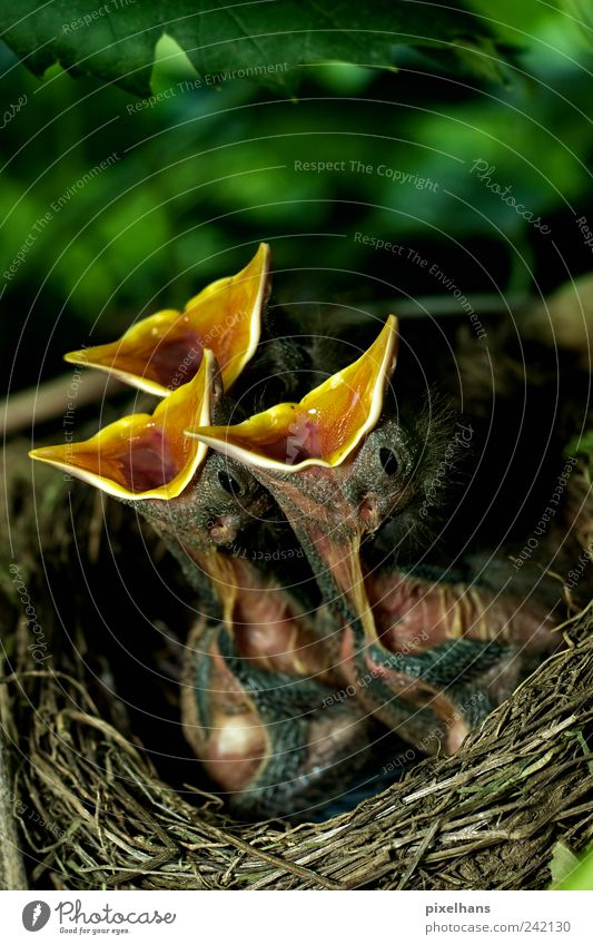 Und jetzt alle gemeinsam ... Natur grün Pflanze Blatt Tier schwarz gelb Umwelt braun Tierjunges Vogel Zusammensein warten verrückt Wildtier Sträucher