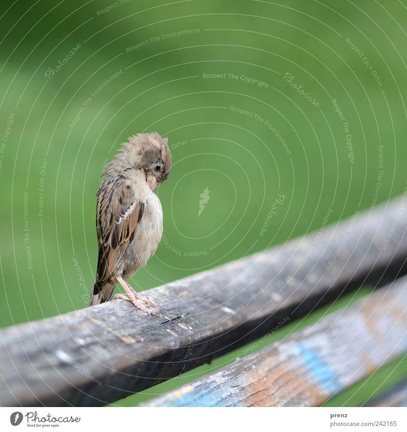 aufrecht Tier Park Wildtier Vogel 1 Holz stehen grau grün Bank Holzbrett Flügel Feder Spatz Farbfoto Außenaufnahme Menschenleer Hintergrund neutral Tag
