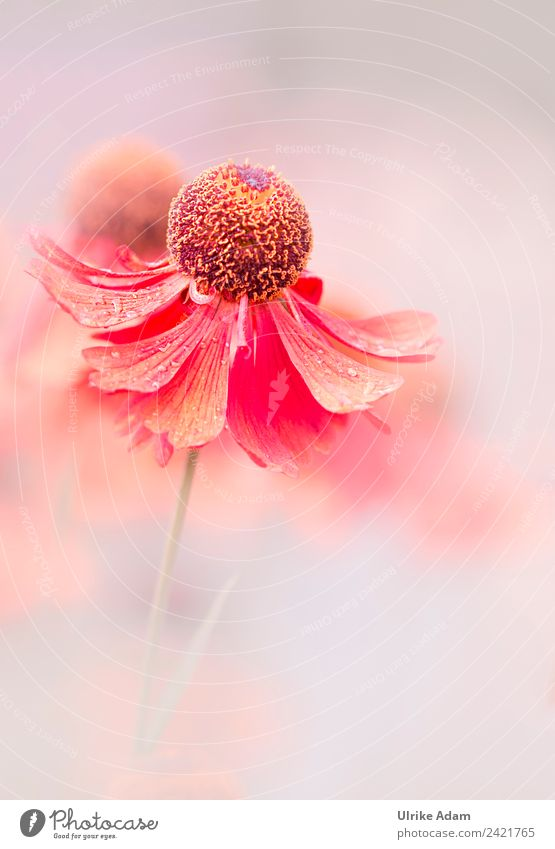 Sommerblumen harmonisch Erholung ruhig Meditation Tapete Buchcover Bild Postkarte Muttertag Hochzeit Geburtstag Natur Pflanze Blume Blüte Sonnenbraut Helenium