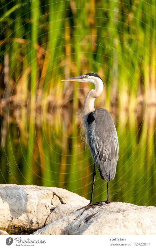 Großer blauer Reiher Watvogel Ardea herodias sitzt auf einem Felsen. Natur Küste Teich Tier Wildtier Vogel Flügel 1 Wasser grün Ardea Herodias Blaureiher