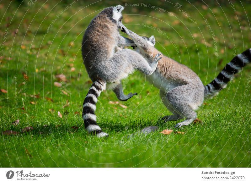 Lemurs play outside on a meadow Natur Sommer Tier Freude Hintergrundbild Familie & Verwandtschaft Glück Zufriedenheit Fröhlichkeit Zoo Tierliebe