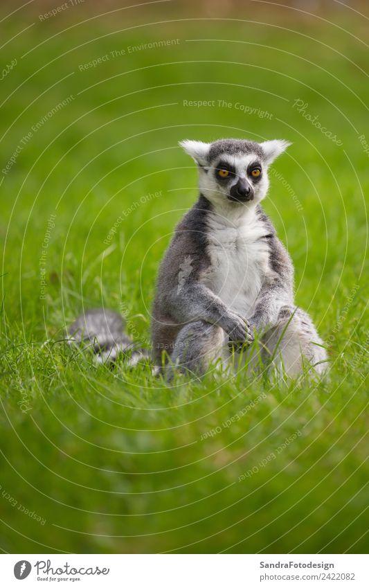 A lemur sits alone in the grass outdoors Natur Sommer Tier Hintergrundbild Familie & Verwandtschaft Zufriedenheit Wildtier Romantik Hoffnung Sicherheit Glaube